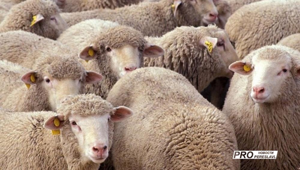 ВЯрославской области из-за оспы уничтожили три сотни овец